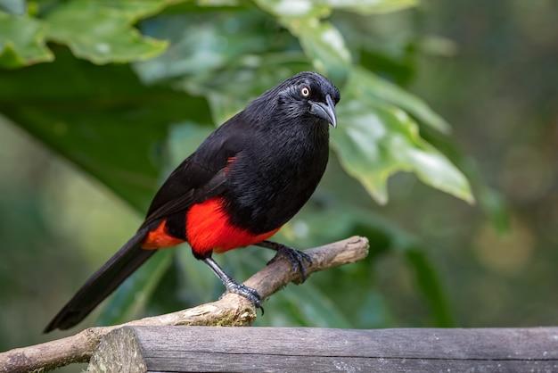 Endemische vogel uit colombia, neergestreken op een stokje
