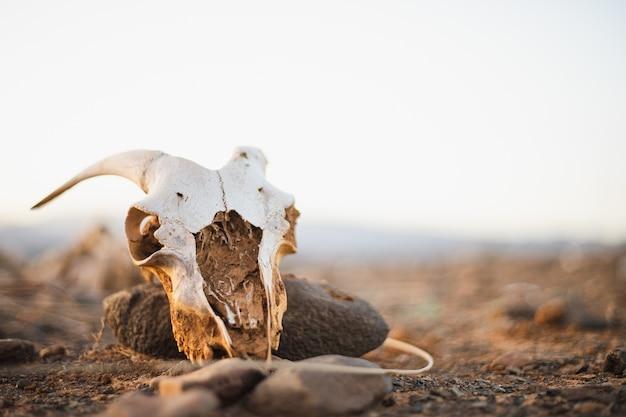 Enge geitenschedel in de woestijn met een witte hemel