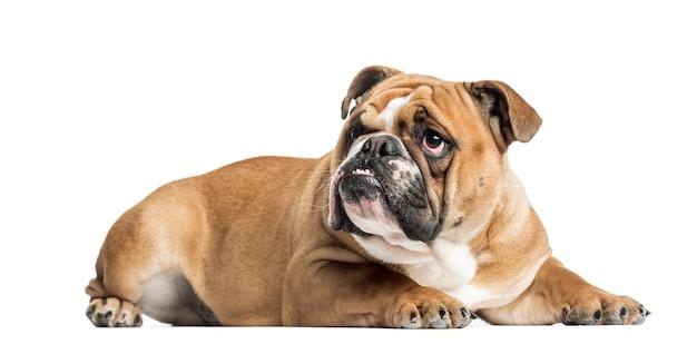Engels bulldog liegen en kijken, geïsoleerd op wit