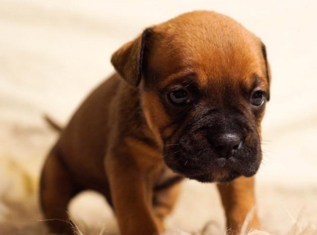Engels bulldog puppy