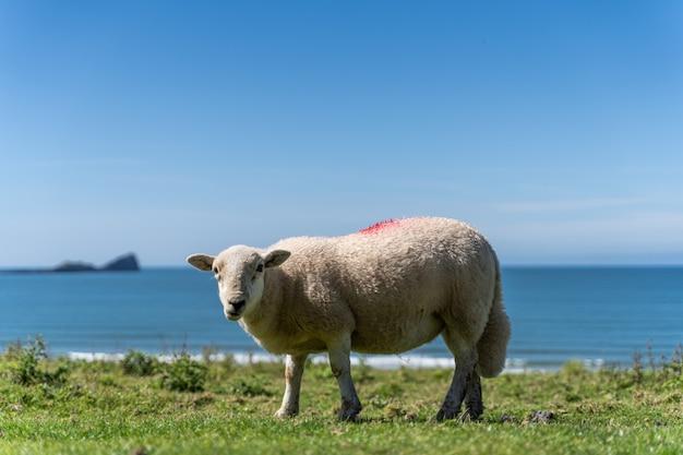 Engels platteland met grazende schapen