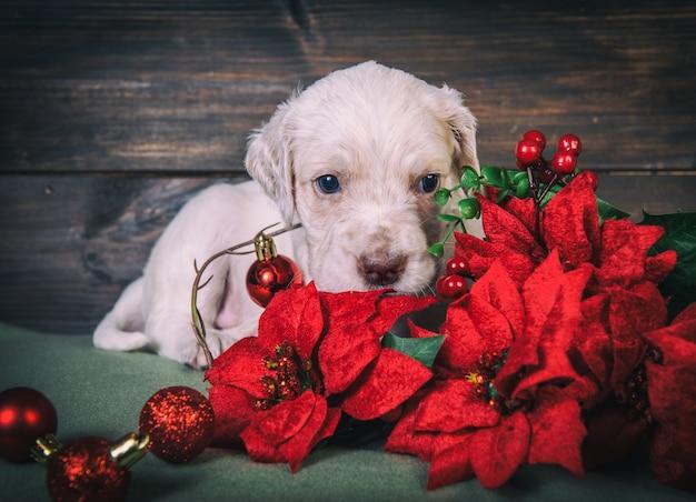 Engels setterpuppy met rode poinsettiabloemen en de ballen van het kerstmisspeelgoed. kerst achtergrond