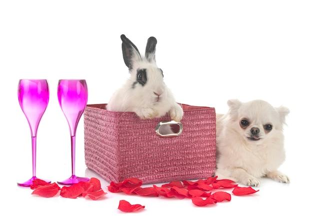 Engels vlek konijn en chihuahua geïsoleerd