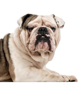 Engelse bulldog die de camera bekijkt