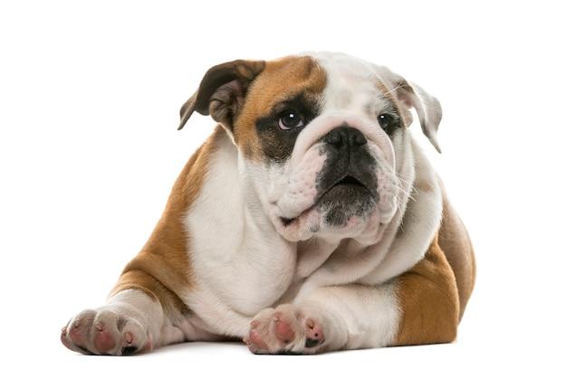 Engelse bulldog die voor een witte muur ligt