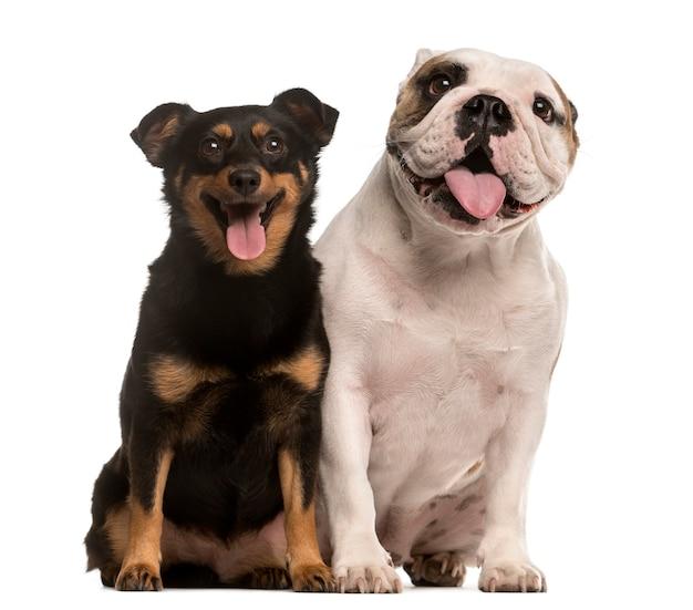 Engelse bulldog en kruising pup kijken naar de camera en de tong uitsteekt