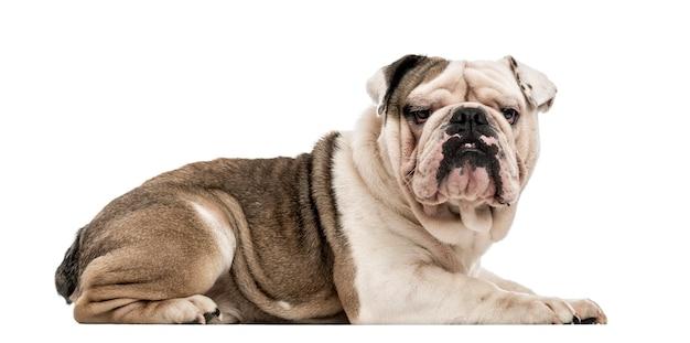 Engelse bulldog liggen en kijken naar de camera