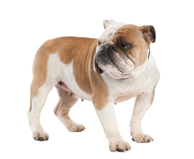 Engelse bulldog met 6 jaar oud. geïsoleerd hondportret