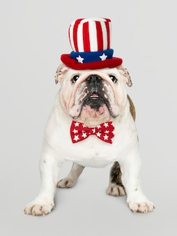 Engelse bulldog uit de vs.