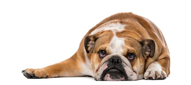 Engelse bulldog voor een witte muur