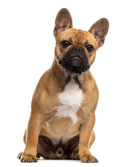 Engelse bulldog zit een witte muur