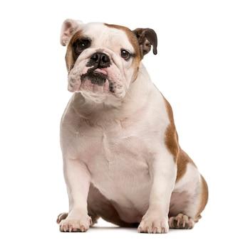Engelse bulldog zitten en kijken naar de camera geïsoleerd op wit