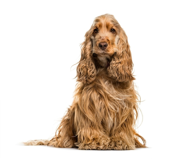 Engelse cocker spaniel hond, 2 jaar oud, zittend tegen een witte achtergrond