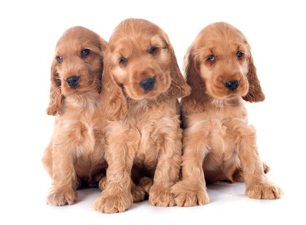 Engelse cocker van puppy's
