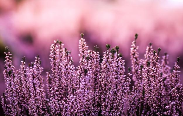Engelse lavendel in een lavendelveld in de wazige natuur
