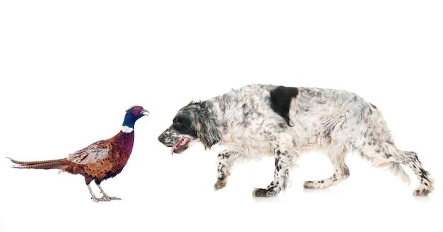 Engelse setter en fazant
