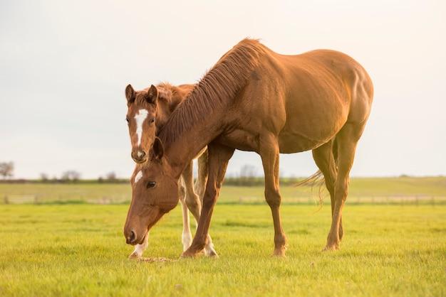 Engelse volbloed- paardmerrie met veulen bij zonsondergang in een weide.