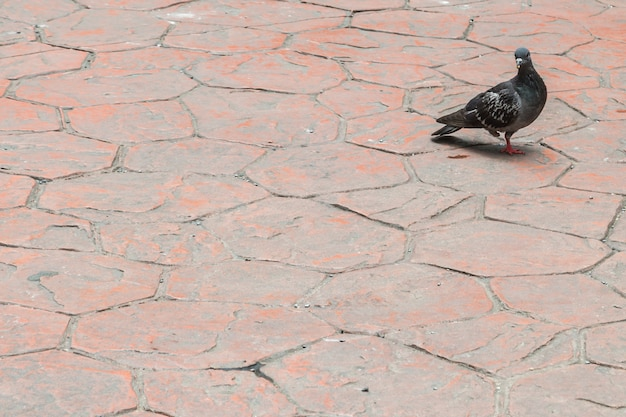 Enige beenduif die op de vloer loopt