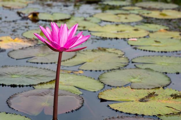 Enige rode lotusbloembloem met bladeren in meer