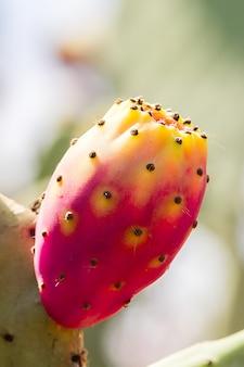 Enige rode stekelige peer of cactusfig. op een verticale boom ,.