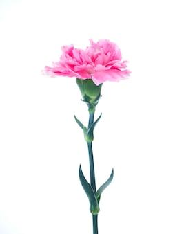 Enige roze anjersbloem op wit
