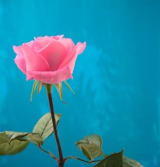 Enkele bloeiende roze roos met waterdruppels tegen blauwe grunge abstracte textuur achtergrond