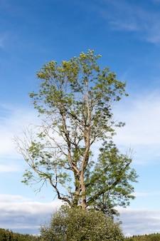Enkele boom en blauwe lucht