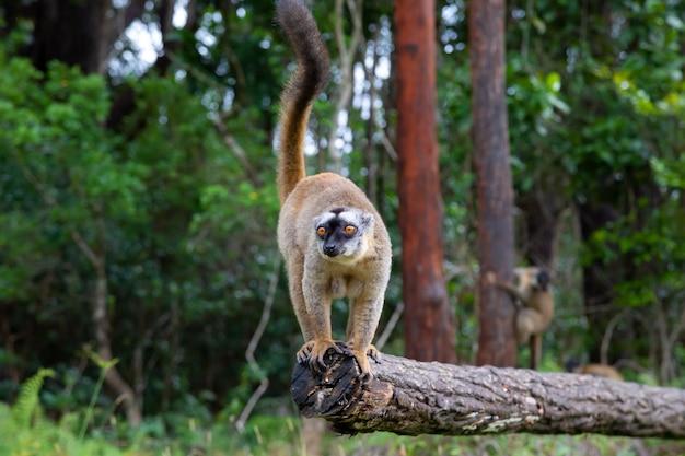 Enkele bruine maki's spelen in de wei en een boomstam en wachten op de bezoekers