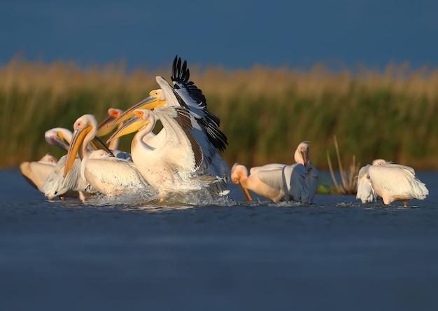 Enkele en groepsbeelden van de grote witte pelikaan (pelecanus onocrotalus) in natuurlijke habitat.