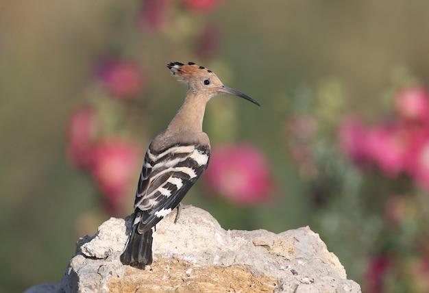 Enkele en groepsfoto's van verbazingwekkende euraziatische hopvogel (upupa epops). vogels geschoten in zacht ochtendlicht in een natuurlijke habitat.
