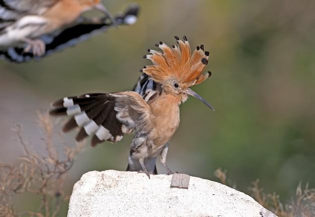 Enkele en groepsfoto's van verbazingwekkende euraziatische hopvogel