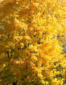 Enkele esdoorn met een grote hoeveelheid geel blad