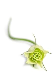 Enkele groene roos eustoma-bloem