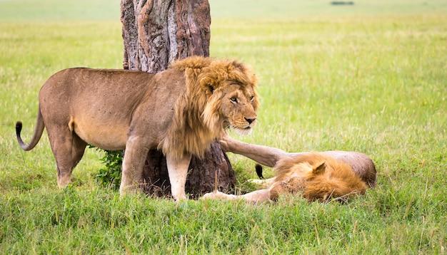 Enkele grote leeuwen laten hun emoties aan elkaar zien in de savanne van kenia