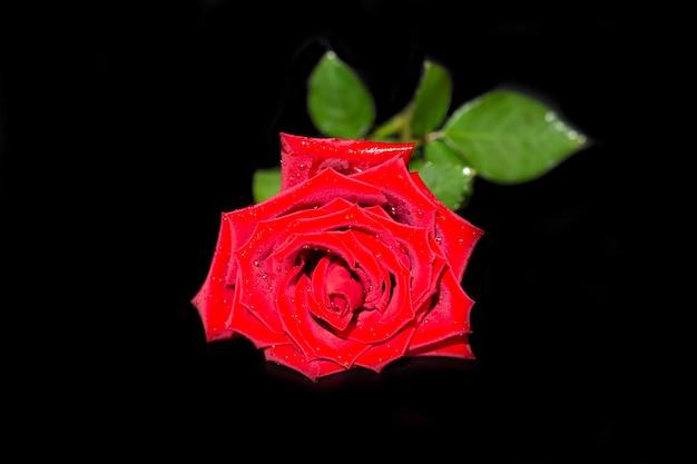 Enkele grote mooie rode roos met regendruppels op een zwarte achtergrond