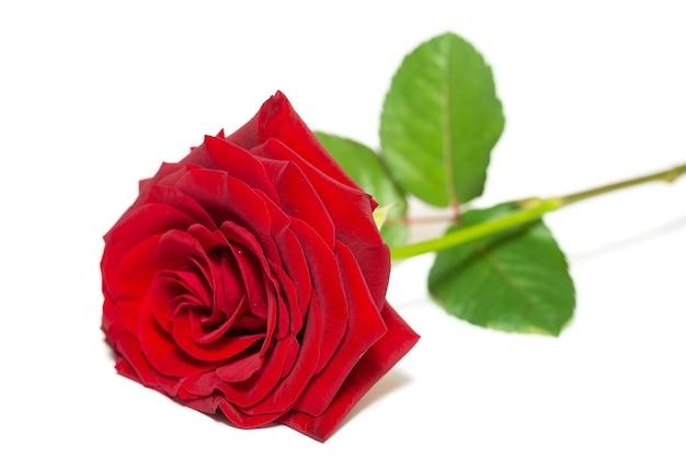 Enkele mooie rode roos geïsoleerd op wit oppervlak
