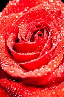 Enkele mooie rode roos met regendruppels op zwarte achtergrond. romantisch symbool.