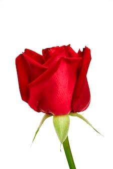 Enkele mooie rode roos op wit