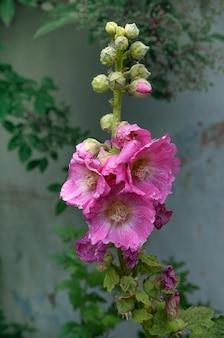 Enkele mooie roze malva bloem.