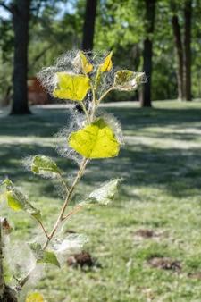 Enkele nieuwe bladeren van een populier volledig bedekt met de dons van de zaden van de bomen populierallergie