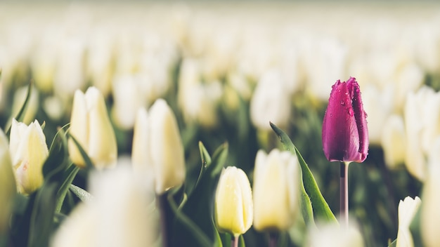 Enkele paarse tulp op het gebied van witte tulpen - concept van individualiteit