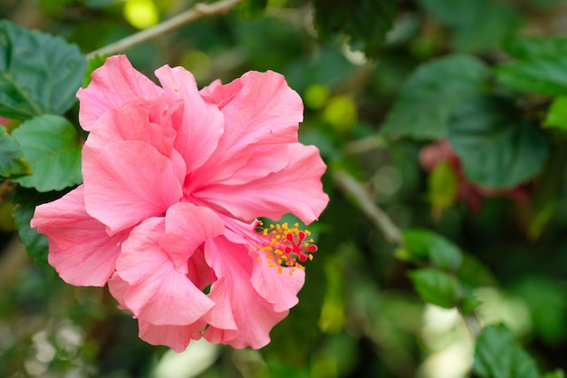Enkele roze hibiscus