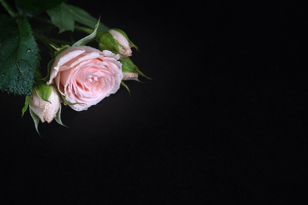 Enkele roze roos met dauwdruppels op bloemblaadjes en bladeren op zwart oppervlak