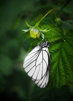 Enkele zwart-witte vlinder op groene achtergrond.