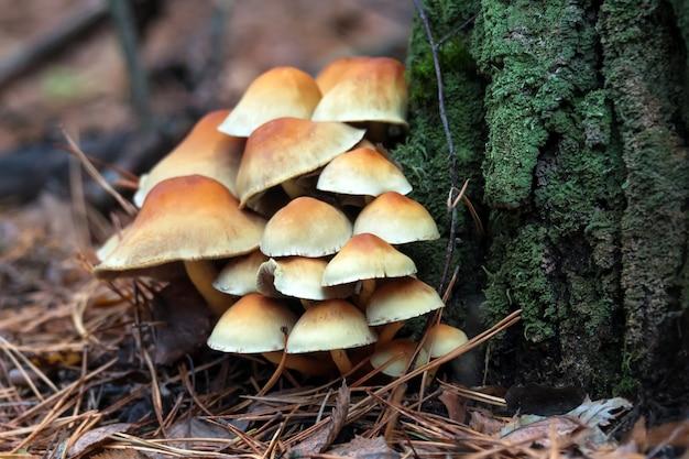 Enokitake-paddenstoel, enoki, futu, zeevruchtenpaddestoel, groeiende eetbare gastronomische en medicinale schimmels op bomen