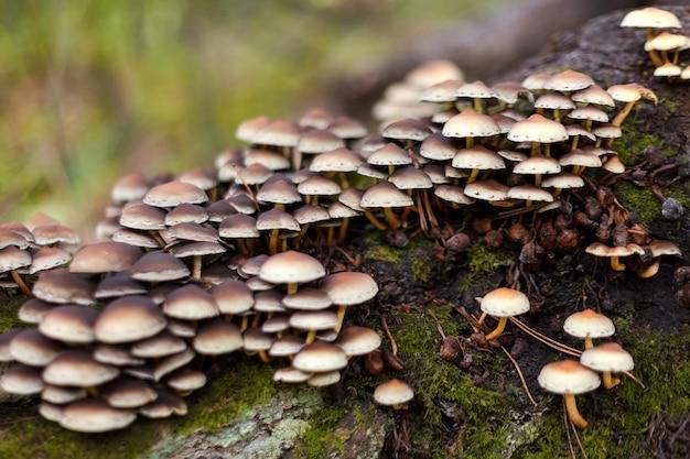 Enokitake-paddenstoel, enoki, futu, zeevruchtenpaddestoel, groeiende eetbare gastronomische en medicinale schimmels op bomen.