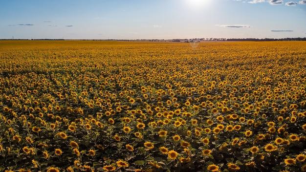 Enorm veld met zonnebloemen met ondergaande zon op de achtergrond. agrarisch veld met zonnebloemen in de avond
