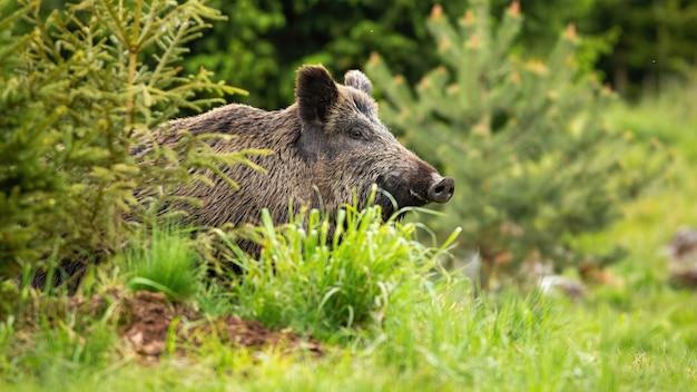 Enorm wild zwijn, sus scrofa, opdagen op de groene open plek in het bos