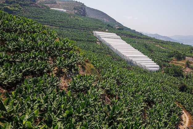 Enorme bananenplantages op een zonnige zomerdag. bananenbos in een tropisch gebied op de heuvel