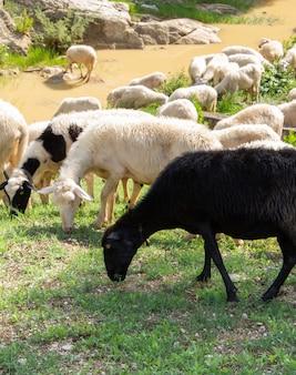 Enorme kudde schapen en geiten.
